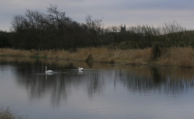 Swans near Collessie