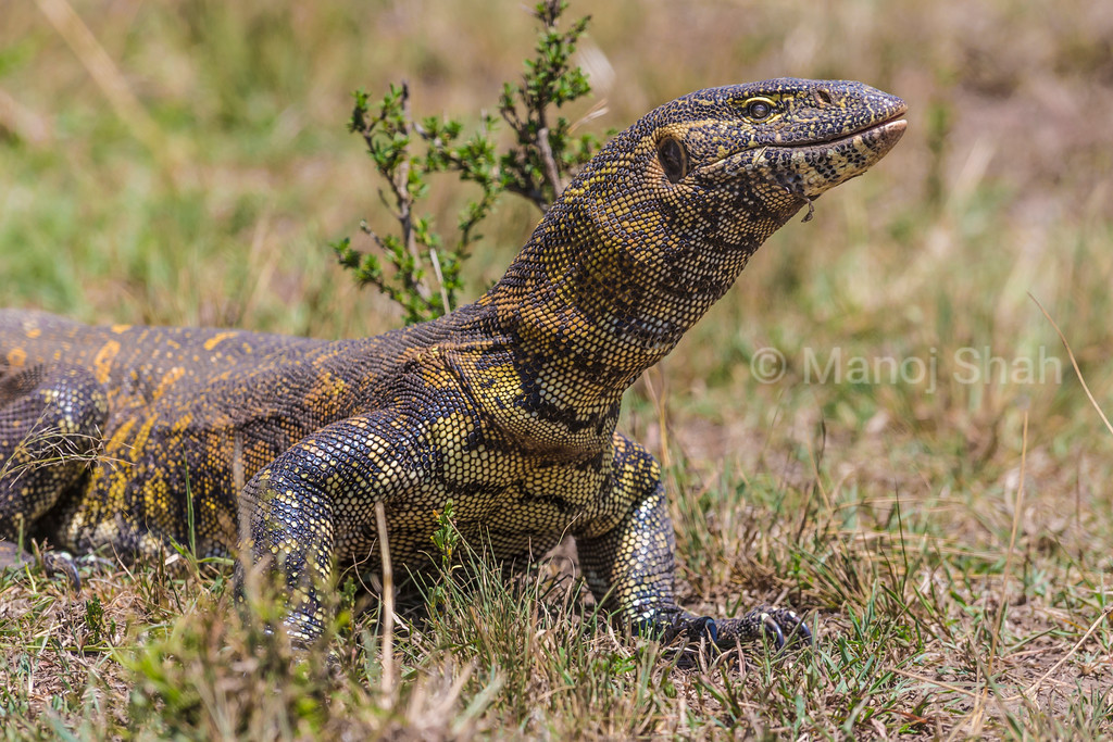 Monitor lizard on the move