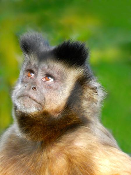 CAPUCHIN MONKEY (Organ Grinder Monkey)