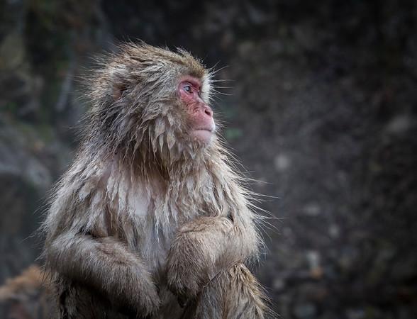 Macaque Profile