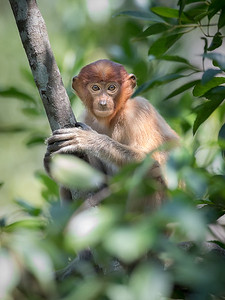 Proboscis monkey looking out