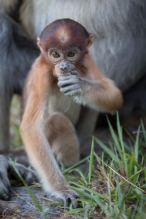 Proboscis baby thinking