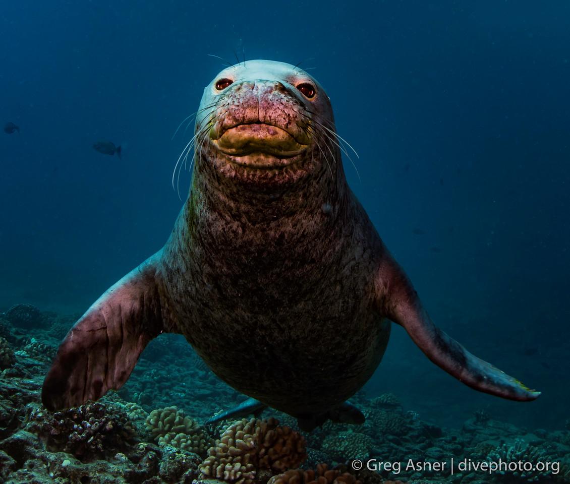 Hawaii monk seals of Niihau