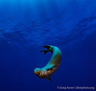 Hawaii monk seals of Niihau