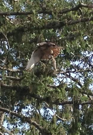 Hawk - October 8, 2013