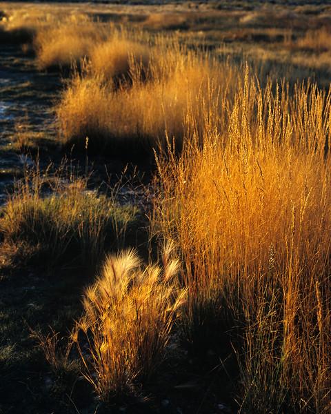 Grasses found along Mono Lake