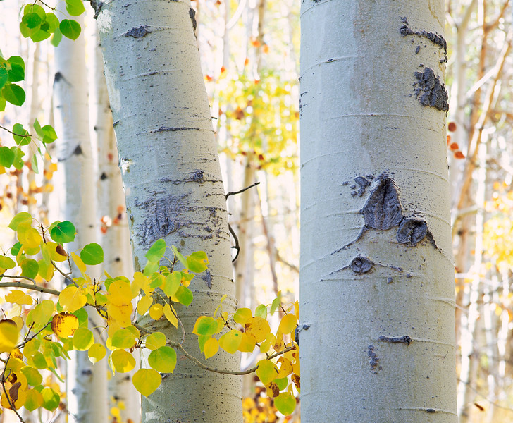 Aspen located in Lundy Canyon