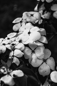 Dogwood blossoms, mono, vertical