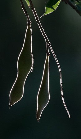 Backlit whisteria pods