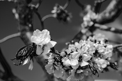 Cherry Blossoms XVI mono