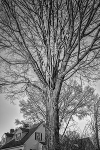 Tree, late afternoon (mono)
