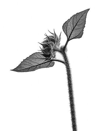Budding sunflower