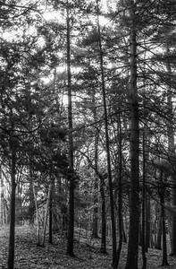 Light in trees, Pine Banks