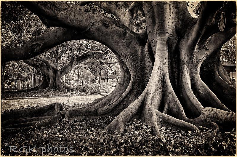 Ficus Trees, Melbourne, Australia