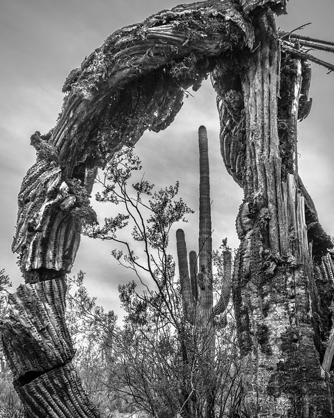 Saguaro, Life and Death