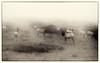 Elk in the Mist, Pt. Reyes