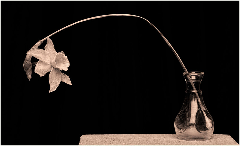 Fibonnacci's  Daffodil