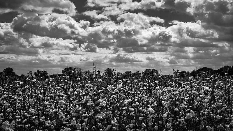 Cotton and Clouds