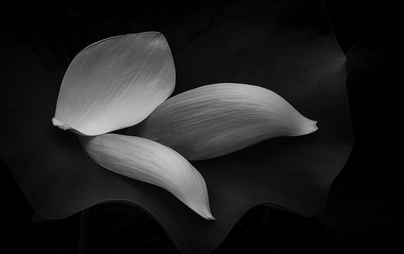 "Lotus Cycle (The Tale of Padma): Petals ""Trinitatis"" Monochrome"