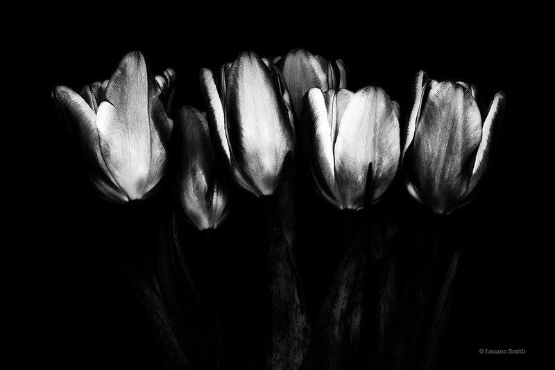 Tulipa 'Luna' 1