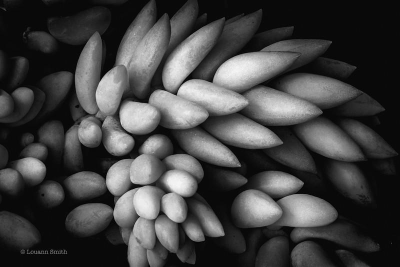 Sedum 'Stonifolium'