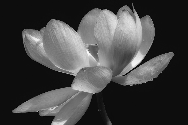 Lotus Cycle (The Tale of Padma):  Padma Dances for Joy 2 Monochrome