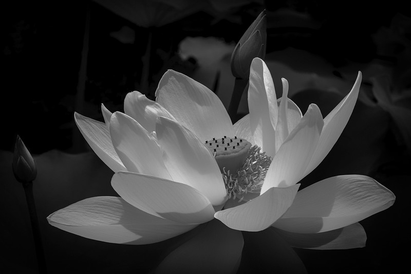 Lotus Cycle (The Tale of Padma): Padma Dances for Joy 1 Monochrome