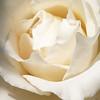 JeanR_1_Rose