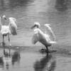 RoyG Mono 1 Egrets