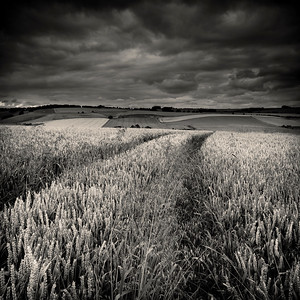 Crop field near Aldbourne, Wiltshire, England