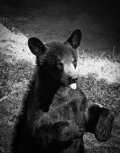 Bear Raspberry