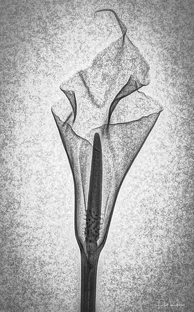 Calla Lily - Digital Radiograph