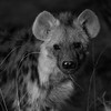 Spotted Hyena, b&w, Mashatu GR, Botswana, May 2017-3