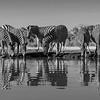 Burchell's Zebra, b&w, Mashatu GR, Botswana, May 2017-2