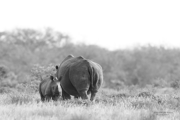 White Rhino, b&w, Phinda, KZN, SA, Oct 2016-4