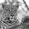 Leopard, b&w, Khwai River Concession, Botswana, May 2017-4