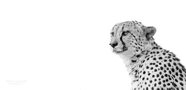 Cheetah, bw, Phinda, KZN, SA, Oct 2016-3