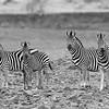 Burchell's Zebra, b&w, Mashatu GR, Botswana, May 2017-1