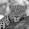Leopard, b&w, Khwai River Concession, Botswana, May 2017-7