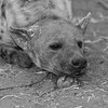 Spotted Hyena, b&w, Mashatu GR, Botswana, May 2017-4
