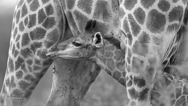 Giraffe, b&w, Phinda, KZN, SA, Oct 2016-4