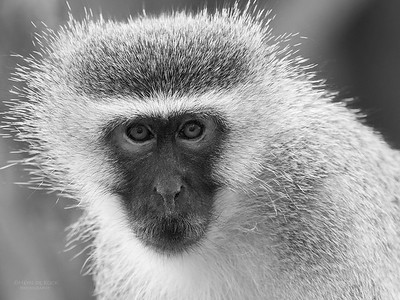 Vervet Monkey, b&w, Phinda, KZN, SA, Oct 2016-3