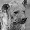 Spotted Hyena, b&w, Mashatu GR, Botswana, May 2017-5