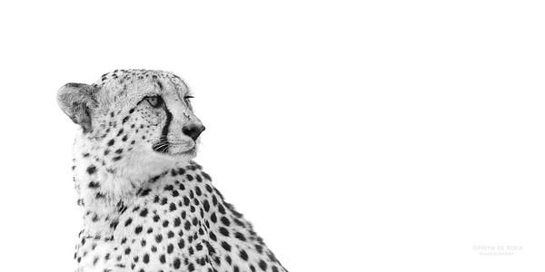 Cheetah, bw, Phinda, KZN, SA, Oct 2016-4