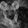 Spotted Hyena, b&w, Mashatu GR, Botswana, May 2017-1