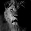 African Lion, b&w, Savuti, Chobe NP, Botswana, May 2017-12