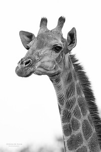 Giraffe, b&w, Phinda, KZN, SA, Oct 2016-