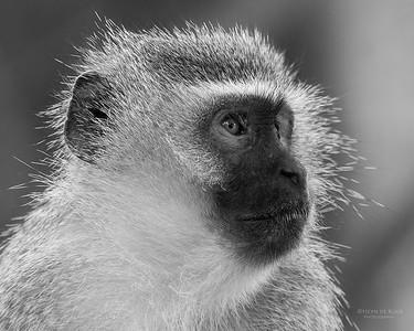 Vervet Monkey, b&w, Phinda, KZN, SA, Oct 2016-4