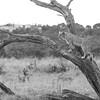 African Lion, b&w, Savuti, Chobe NP, Botswana, May 2017-20