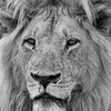 African Lion, b&w, Savuti, Chobe NP, Botswana, May 2017-18
